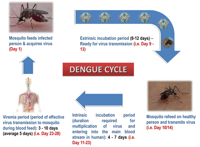 dengue_cycle